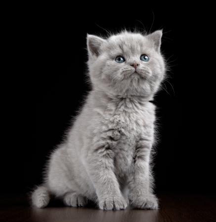 british pussy: British short hair kitten five weeks old