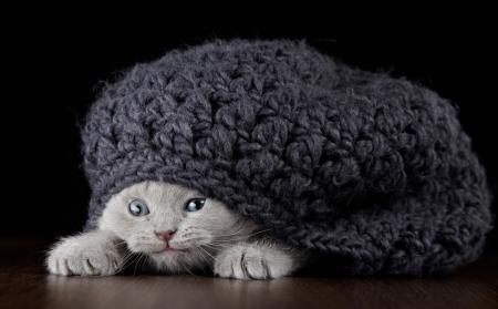 British short hair kitten in a hat Stock Photo - 17566687