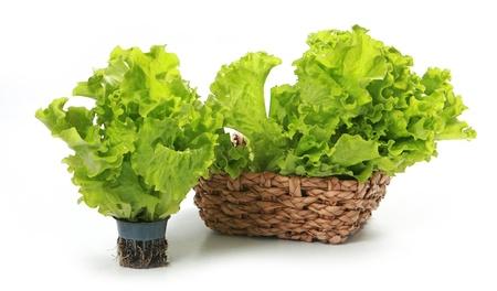romaine: fresh green lettuce on white background Stock Photo