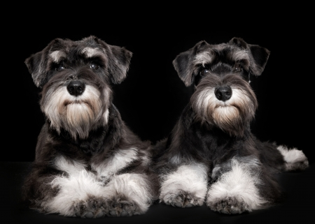 five month old: miniature schnauzer puppies five month old