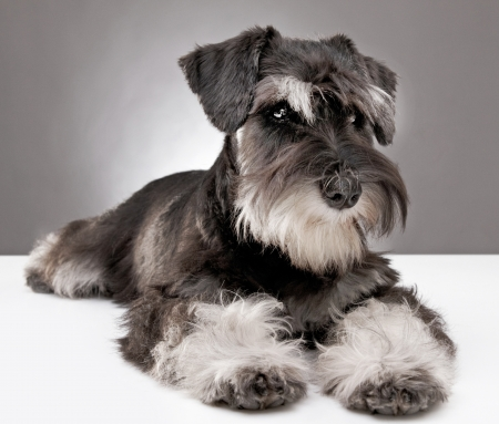 five month old: miniature schnauzer puppy five month old Stock Photo