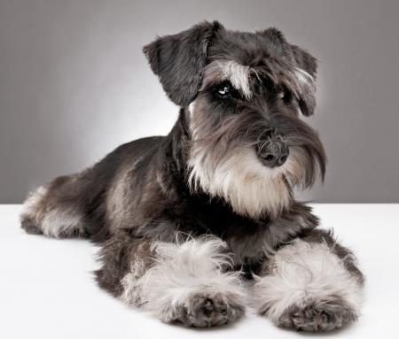 schnauzer: miniature schnauzer puppy five month old Stock Photo