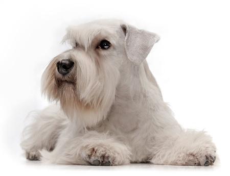 schnauzer: white miniature schnauzer puppy five month old