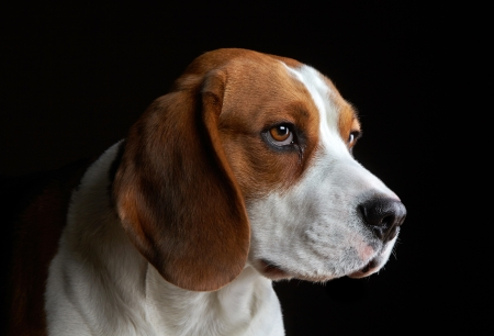 beagle: Portrait of young dog beagle