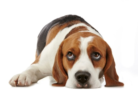 fondo blanco: beagle perro sobre fondo blanco Foto de archivo