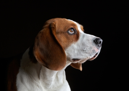 Portrait of young beagle dog photo