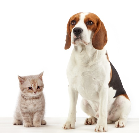 short hair dog: beagle dog and british kitten on white background
