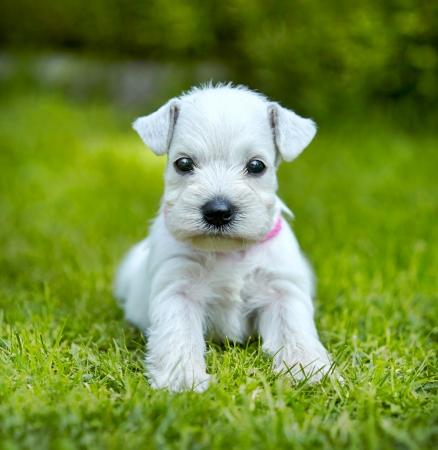 miniature dog: white schnauzer puppy in a green grass