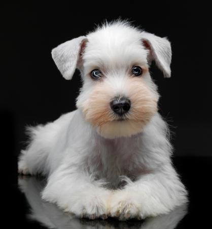 schnauzer: Portrait of white miniature schnauzer puppy
