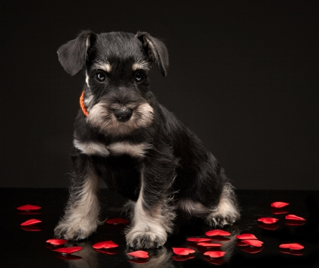Miniature schnauzer puppy and red decorative hearts photo