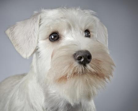schnauzer: white miniature schnauzer puppy 3 month old