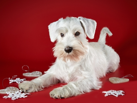 schnauzer: White miniature schnauzer puppy and Christmas decorations on a red background Stock Photo