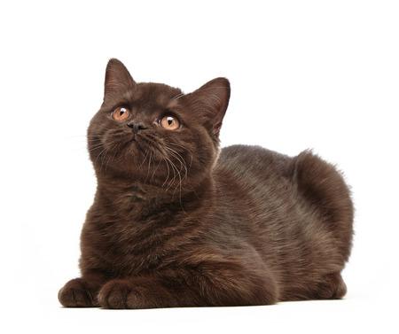 hair short: ritratto di marrone britannico breve gattino di capelli