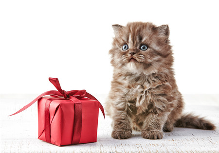 British long hair kitten and gift box photo