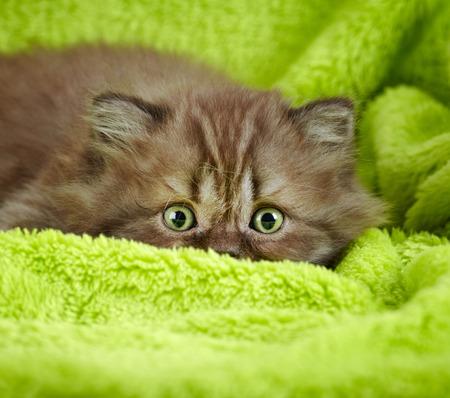 cute kittens: british long hair kitten on a green  Stock Photo