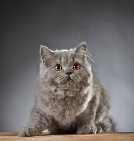 longhair: Portrait of gray british longhair kitten