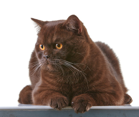 british shorthair: portrait of brown british short hair cat