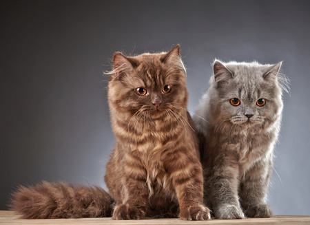 longhair: portrait of two british longhair kittens, 4 month old