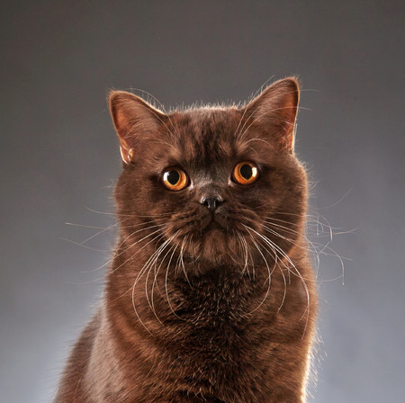 shorthair: Portrait of Brown british shorthair cat, studio shot Stock Photo