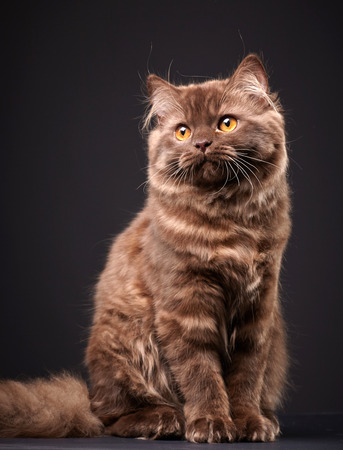 longhair: portrait of brown british longhair kitten