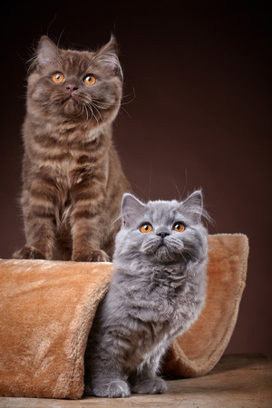 longhair: portrait of two british longhair kittens Stock Photo