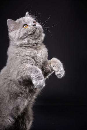 longhair: Gray british longhair kitten on black background, 4 month old Stock Photo