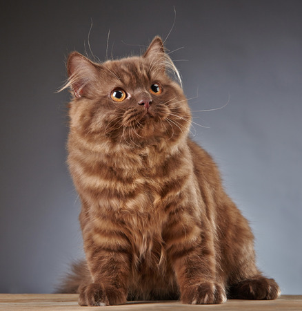 longhair: portrait of brown british longhair kitten, 4 month old