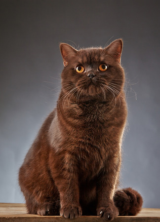 british shorthair: Portrait of Brown british shorthair cat, studio shot Stock Photo