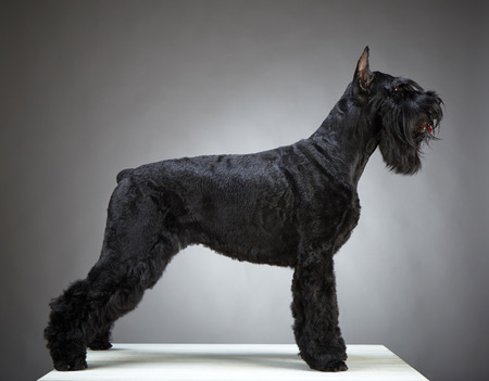 Black Giant Schnauzer dog on gray background