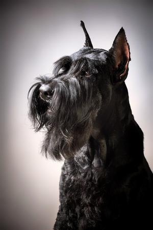 schnauzer: Portrait of Black Giant Schnauzer dog Stock Photo