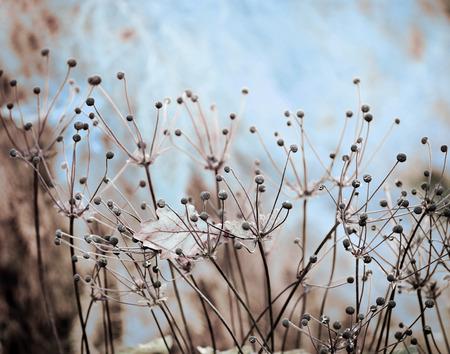 anemone flower: anemone fiore e foglia di quercia, bella d'inverno Archivio Fotografico