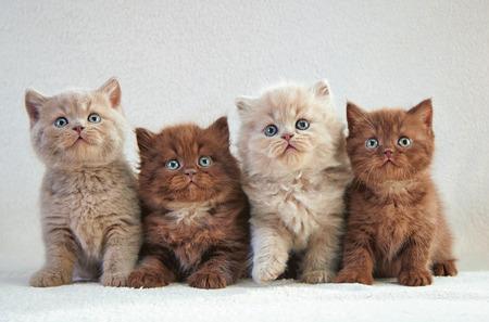 koty: cztery różne brytyjskie kocięta siedzi na beżowym kratę Zdjęcie Seryjne