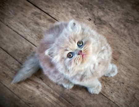 longhair: british longhair kitten sitting on wooden floor and looking up