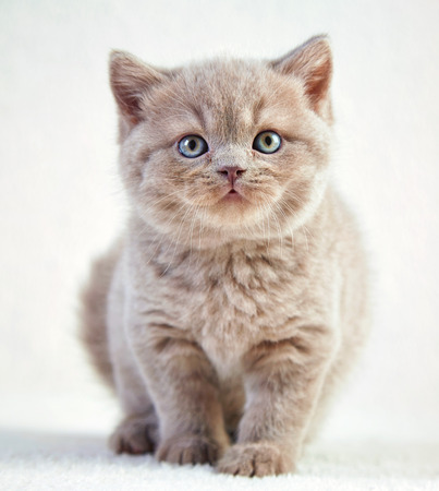 british short hair: portrait of british short hair kitten, 5 weeks old Stock Photo
