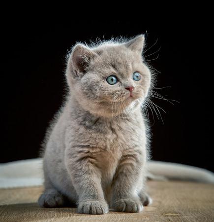 cabello corto: Retrato de gatito pelo corto brit�nico Foto de archivo