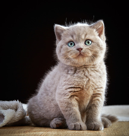 cabello corto: gatito hermoso pelo corto británico
