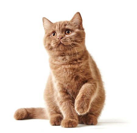 british shorthair: British short hair kitten isolated on a white background