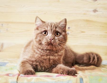 cute kittens: Portrait of british short hair kitten Stock Photo