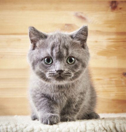 british shorthair: portrait of british short hair kitten