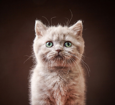 british short hair: portrait of british short hair kitten