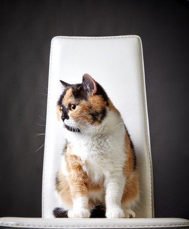 british short hair: colorful british short hair cat sitting on a chair