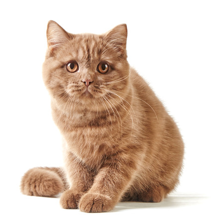 british short hair: British short hair kitten isolated on a white background