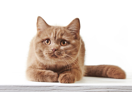 british short hair: British short hair kitten on a white background
