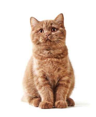 흰색 배경에 고립 된 영국 짧은 머리 새끼 고양이 스톡 콘텐츠