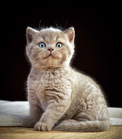 hair short: ritratto di britannico breve gattino capelli Archivio Fotografico