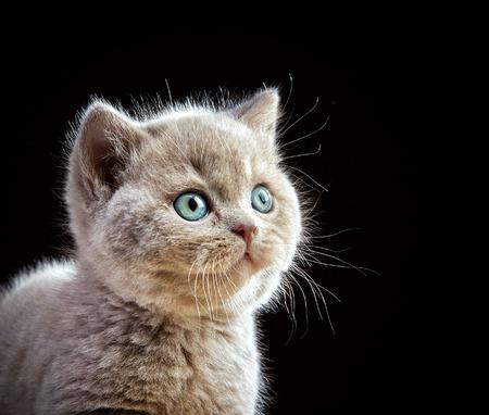 cabello corto: retrato de gatito pelo corto británico Foto de archivo