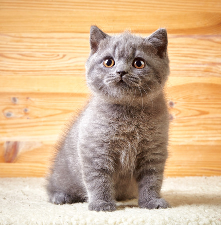 cute: portrait of british short hair kitten