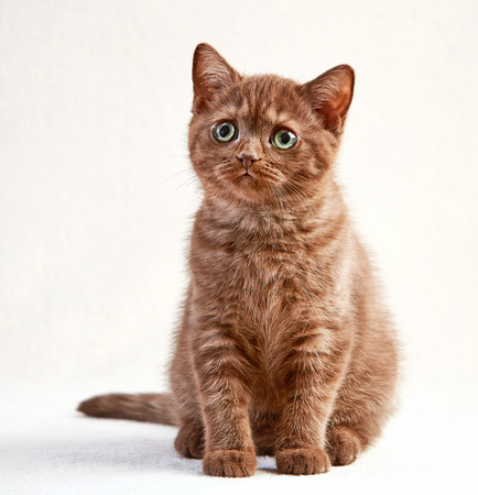 british shorthair: portrait of brown british shorthair kitten