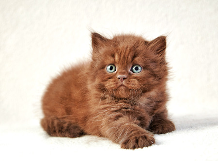 playful: portrait of brown british long hair kitten, selective focus