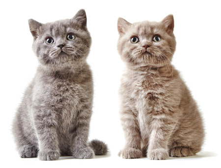 cute kitten: two british short hair kittens isolated on white background Stock Photo